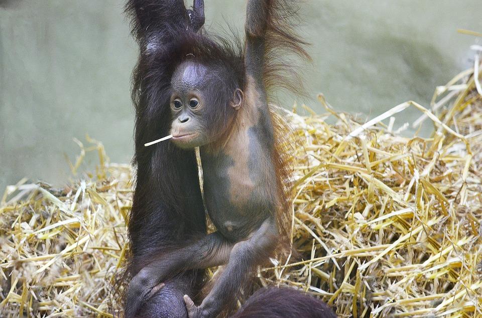 orang utan, monkey baby, orangutan baby