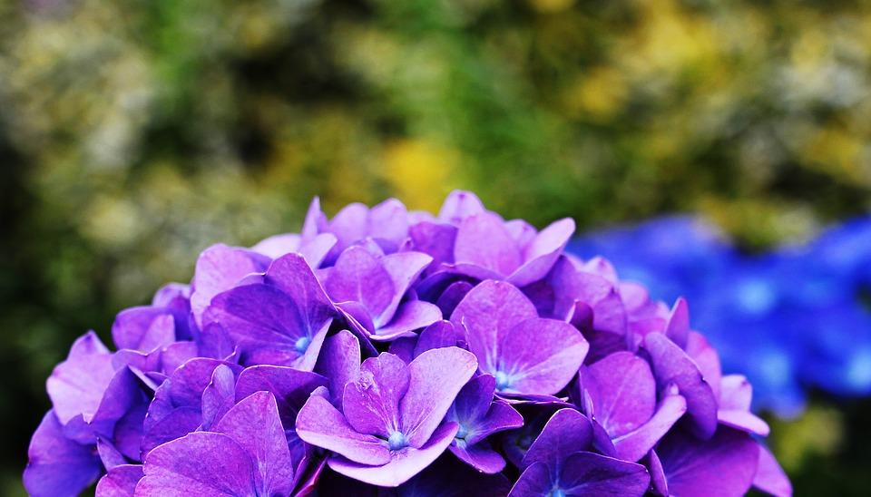 hydrangea, flower, ornamental flower