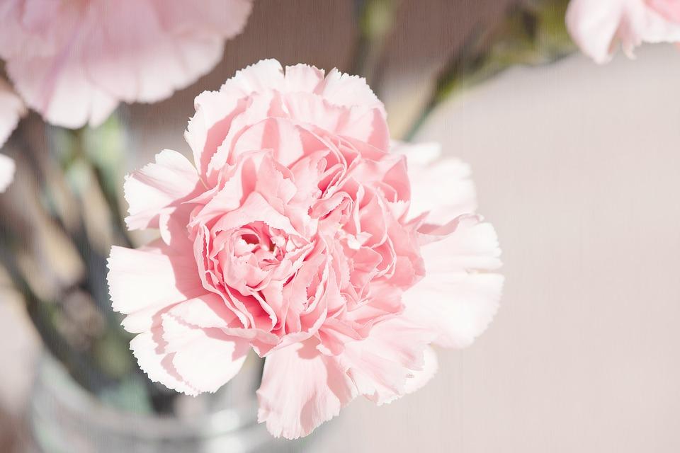 carnation, flower, blossom