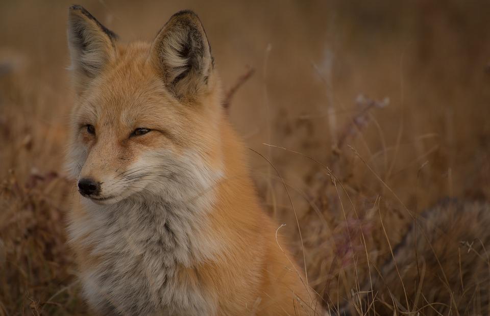 brown, fox, animal