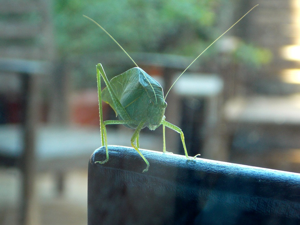 cricket, katydid, grasshopper