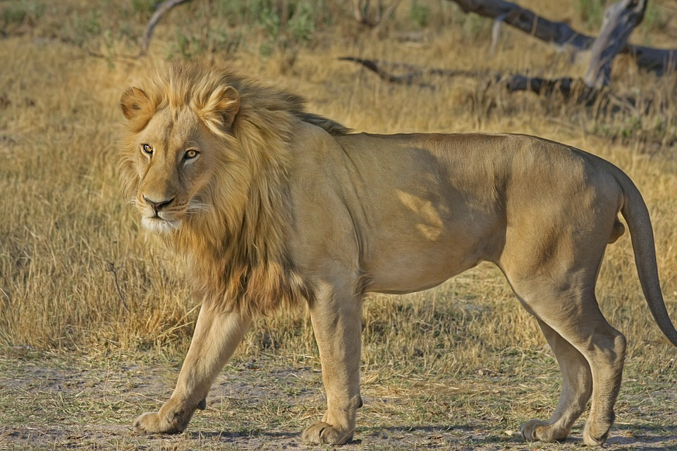 lion, wildcat, safari