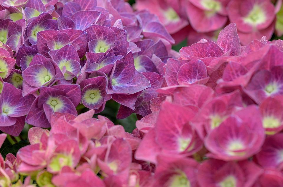 hydrangea, hortensia, flower