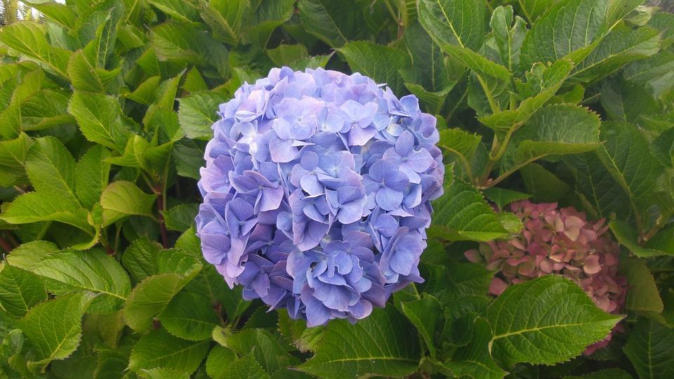 hydrangea, flower, blue