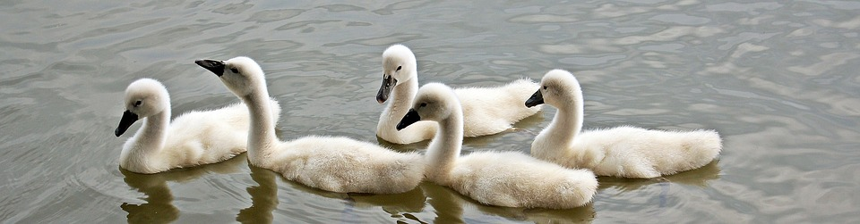 swans, baby swans, water