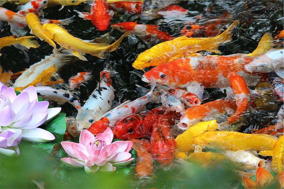 fish, pond, water