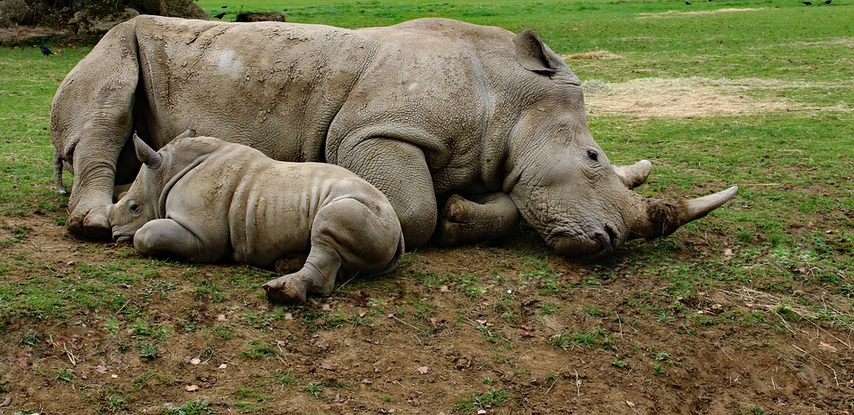 mother and son rhino, baby rhino, animal