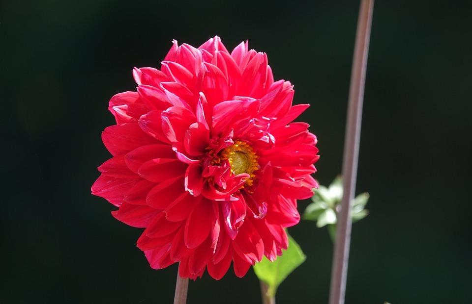 red, flower, gardenia