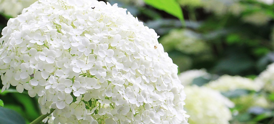 hydrangea, flower, ornamental flower