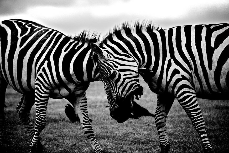 zebras, safari, animals