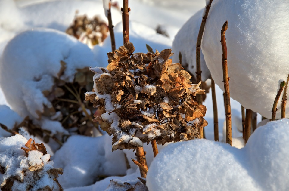 hydrangea, nature, winter