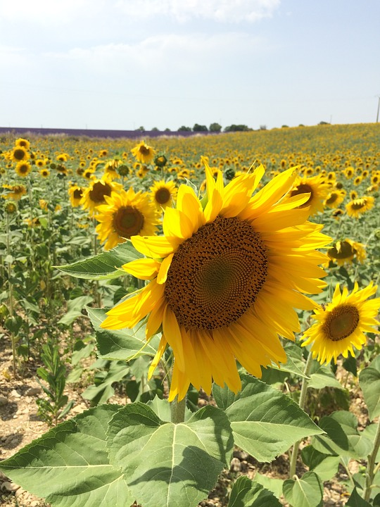 sunflower, sunflower field, sunshine