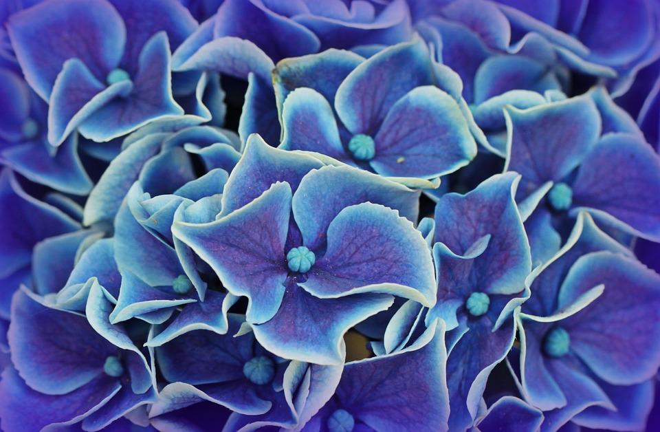 hydrangea, hydrangea flowers, blossom