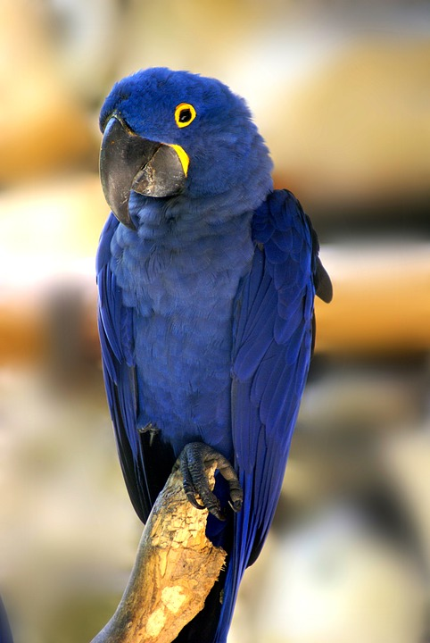 blue macaw, bird, tropical birds