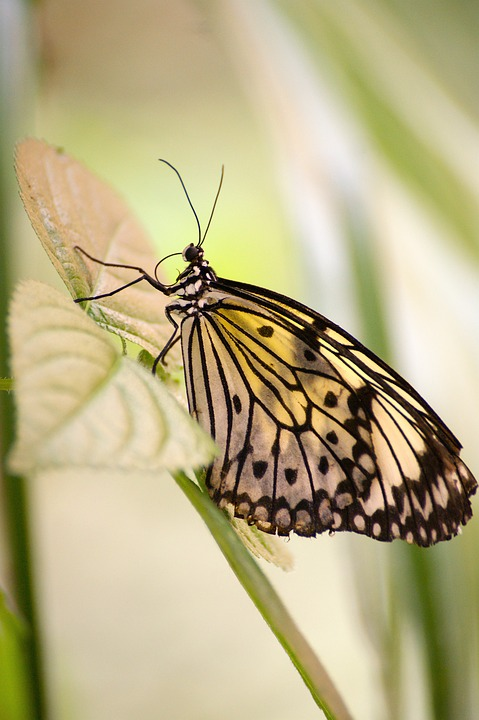 butterfly, exotic, tropical