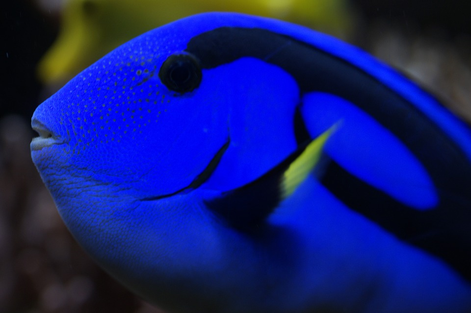 hawaii doctor fish, surgeonfish, fish