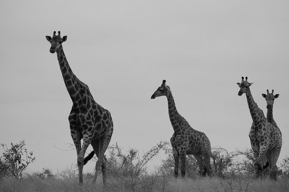safari, giraffe, africa