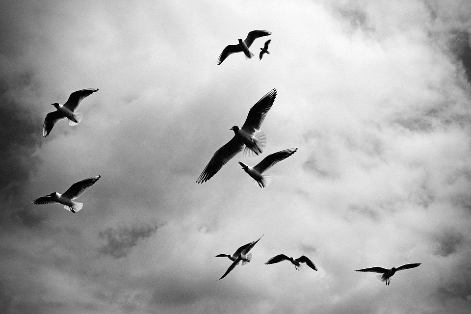 birds, flock, black and white