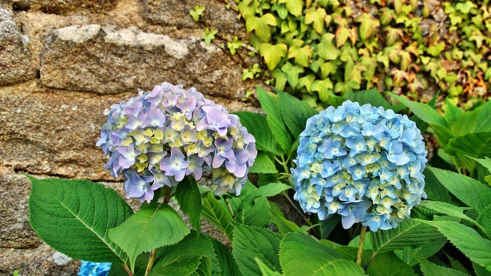 hydrangea, flower, brittany