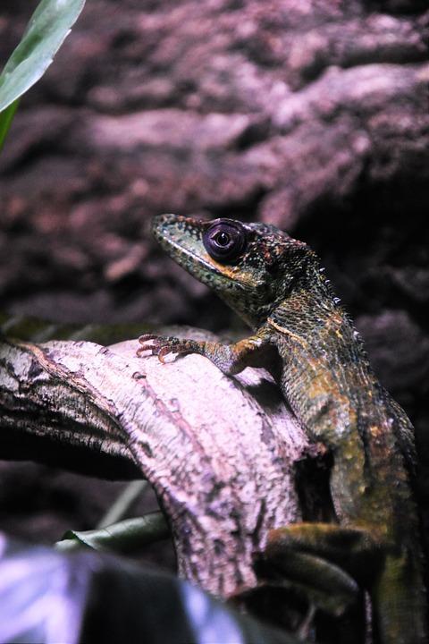 lizard, reptile, wildlife