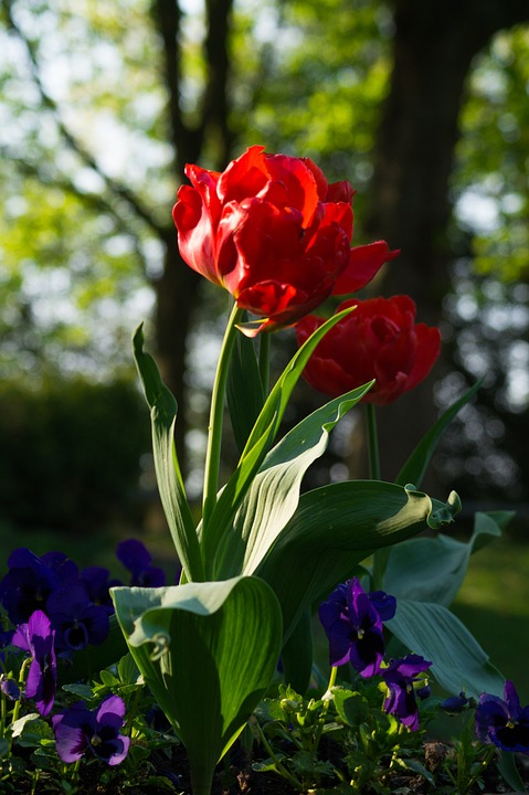 tulip, flower, red