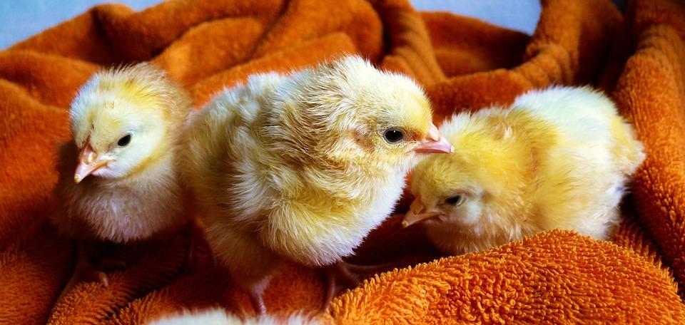 chicks, animal, fluffy