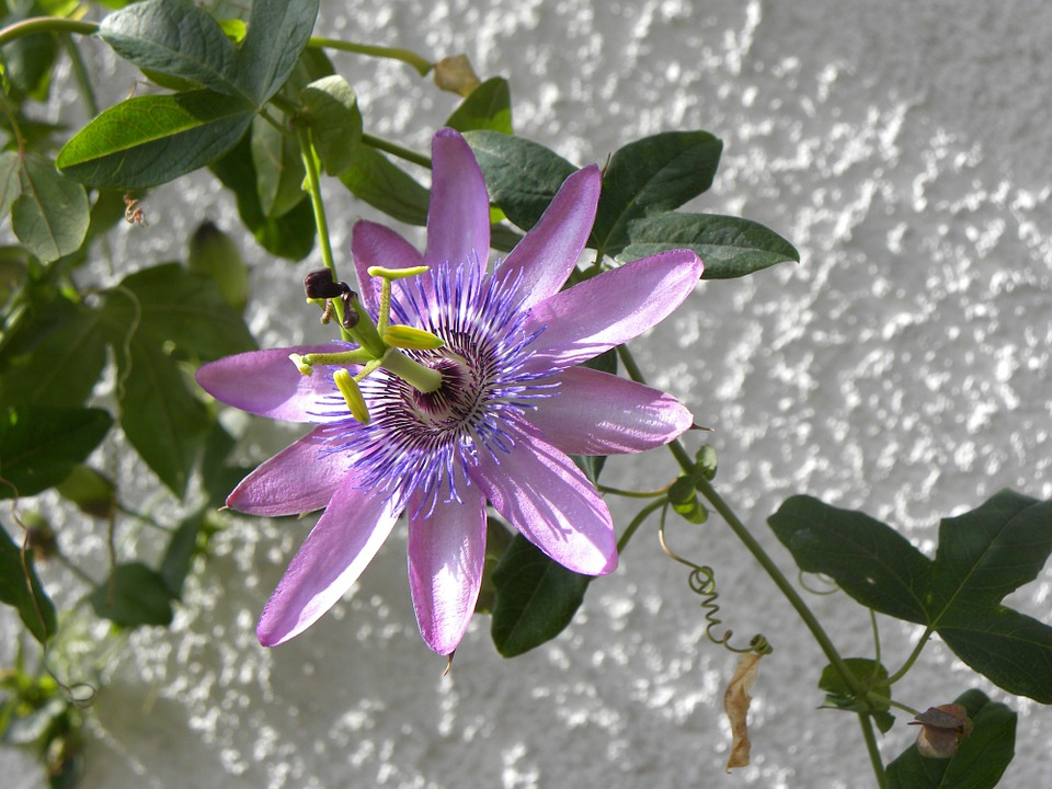 brazilian passionflower, flower, exotic