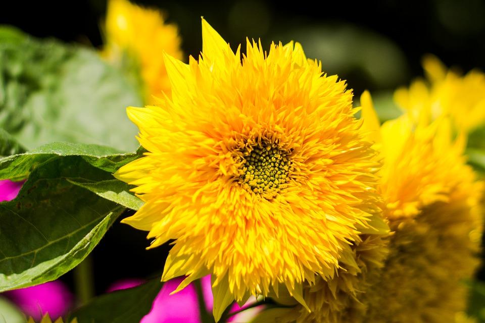 sunflower, flower, blooming sunflower