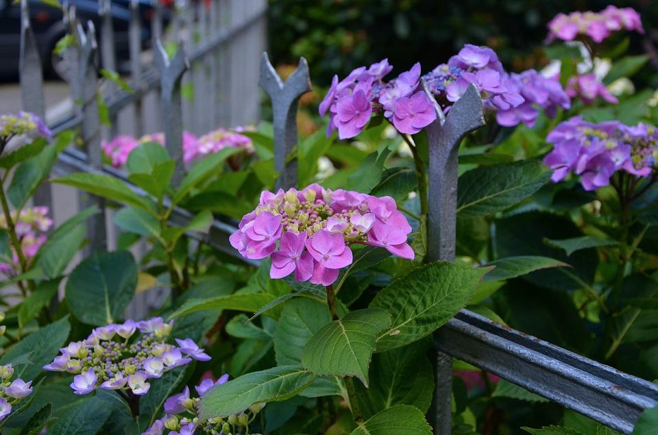 hydrangeas, fence, flowers