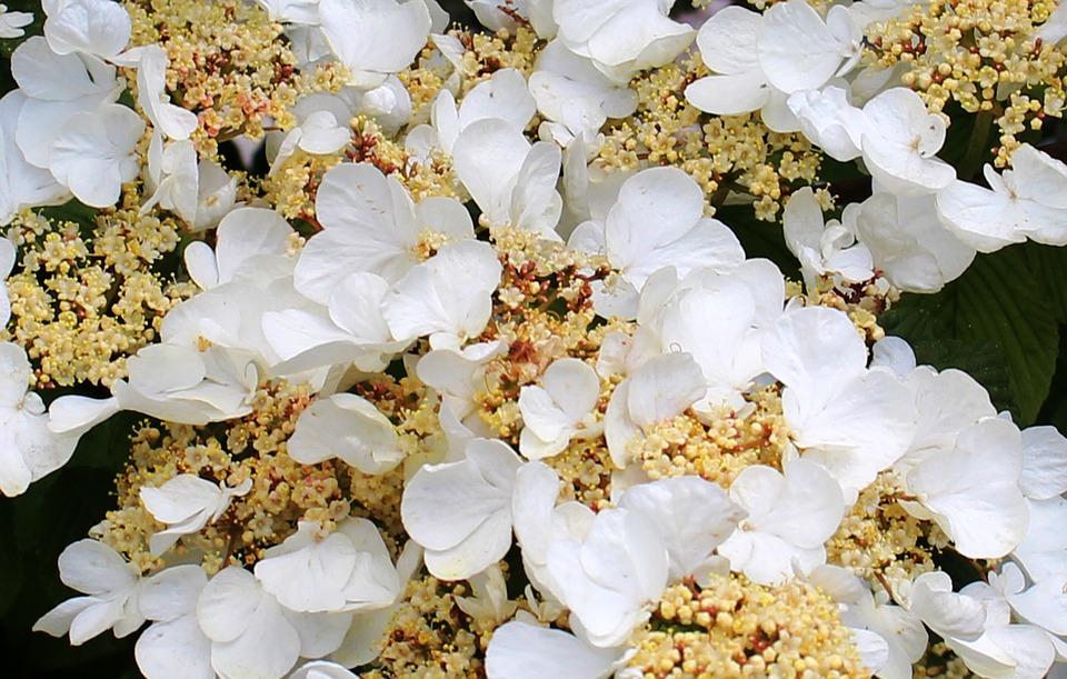 flower, flowers, hydrangea