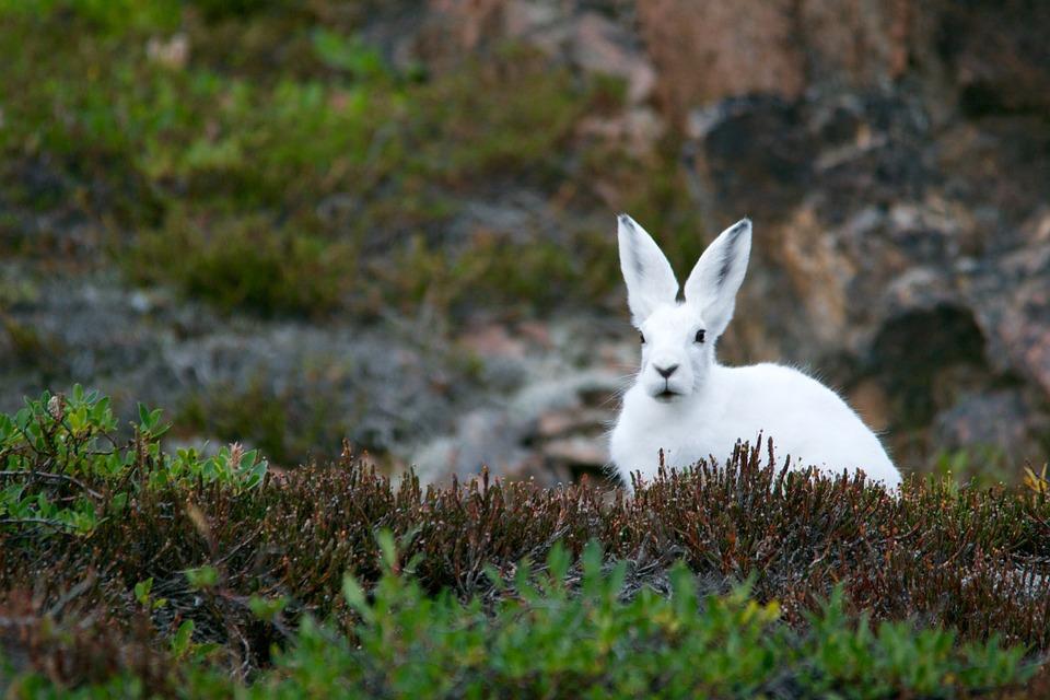 arctic hare, mountain hare, polar