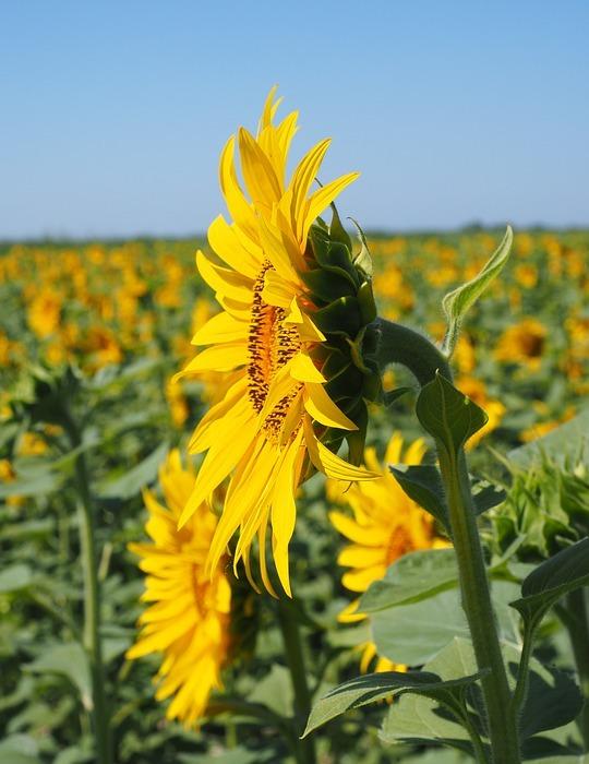 sun flower, inflorescence, flower basket