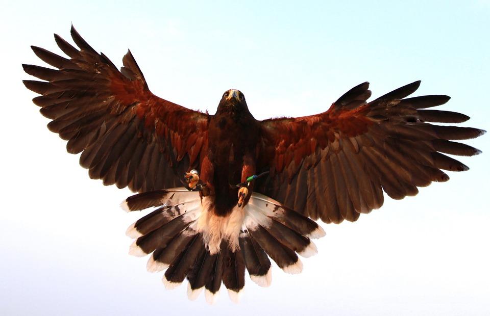 hawk, bird, prey