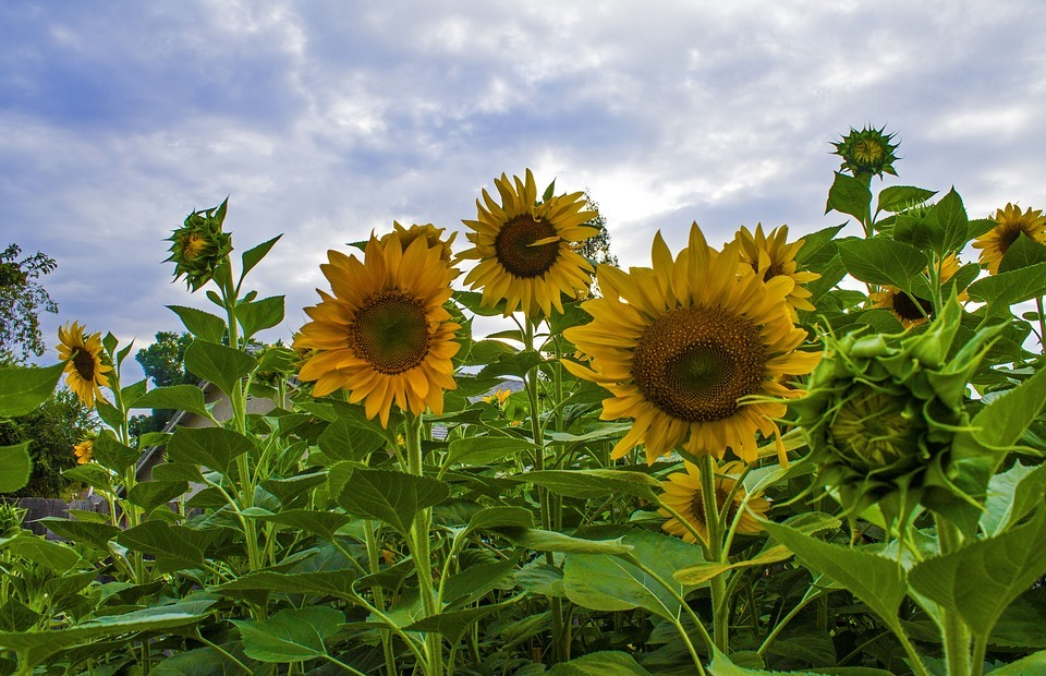 sunflowers, garden, flowers
