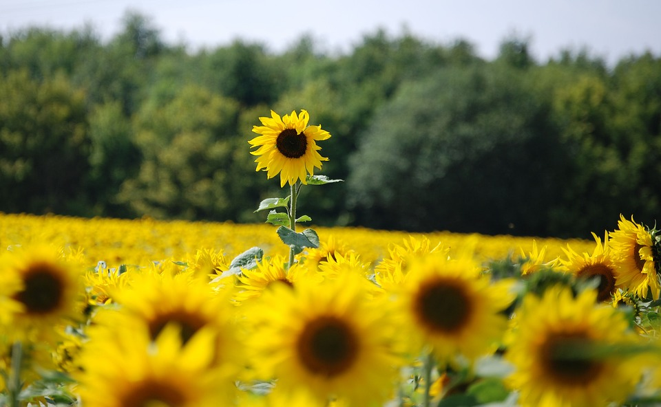 sunflower, helianthus annuus, yellow