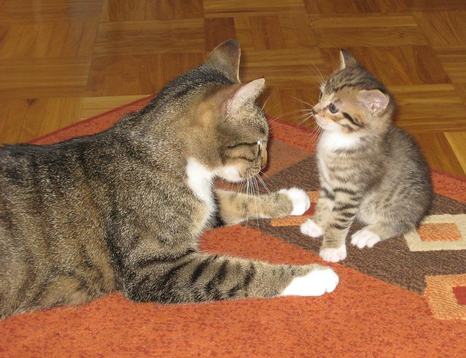 cat, cat baby, animal
