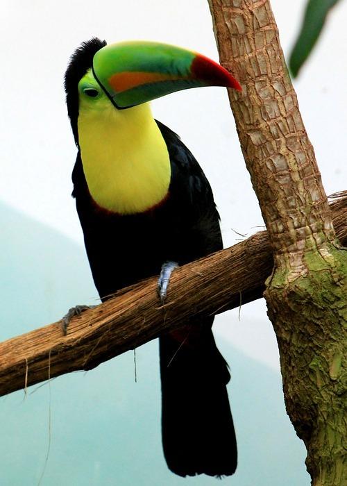 toucan, bird, tropical bird