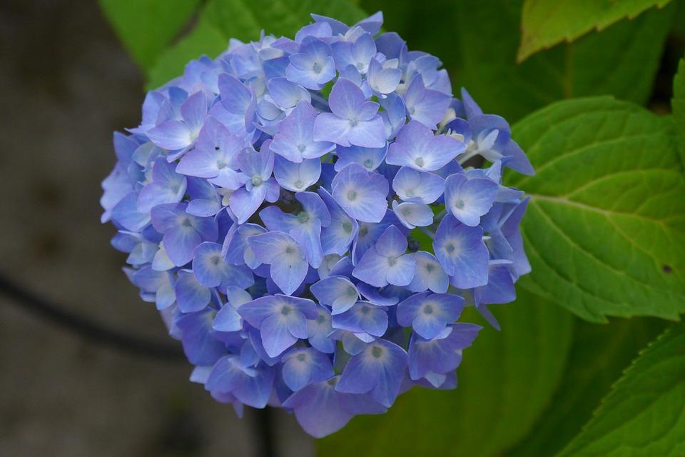hydrangea, flower, nature