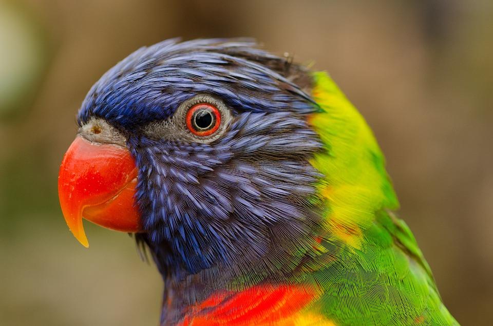parrot, colorful, bird