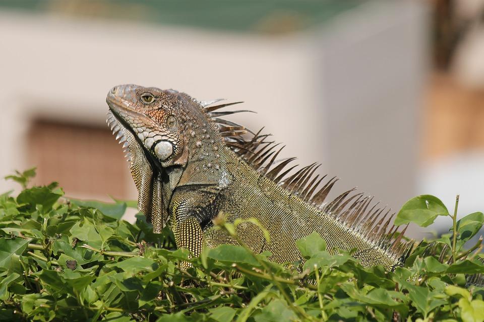 reptile, iguana, reptiles