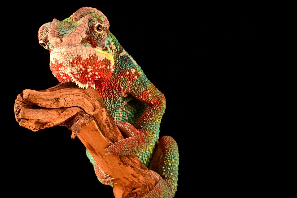 animal, reptile, chameleon