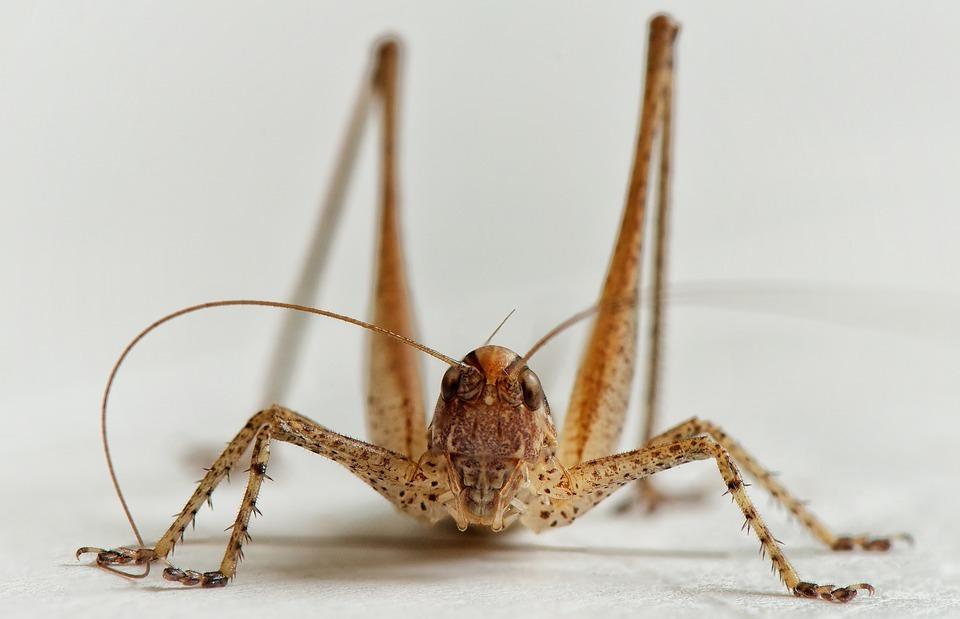 bush-cricket, grasshopper, ornithopter