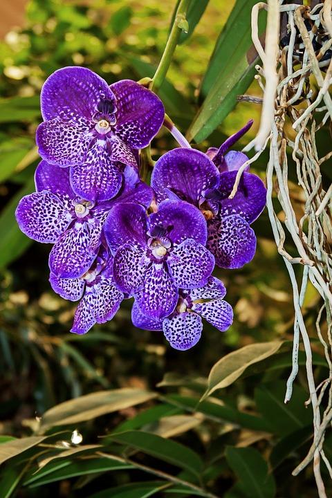 orchid, vanda, exotic