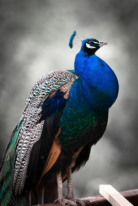 peacock, bird, colorful