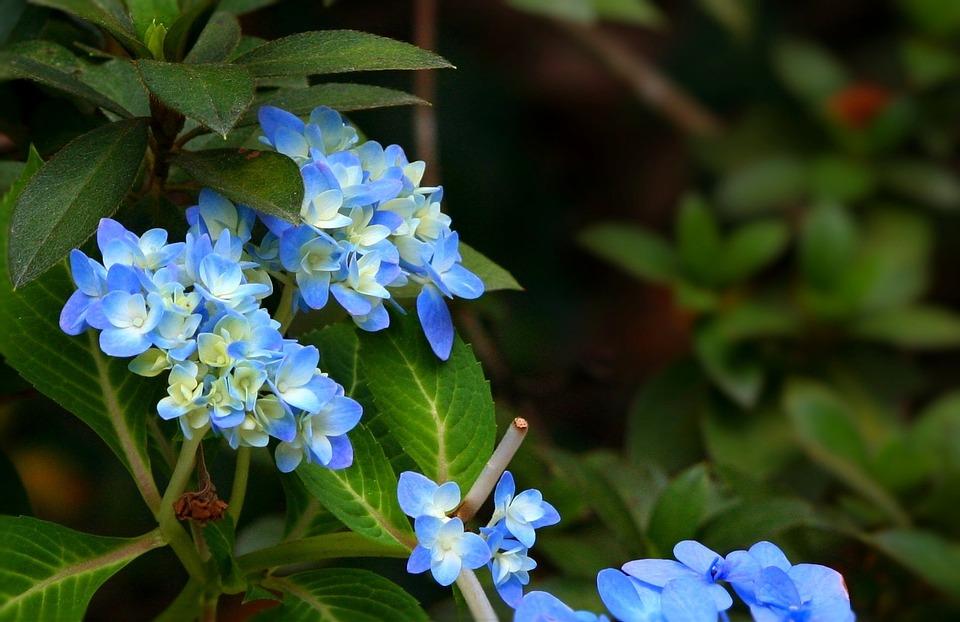 hydrangea, blue, flowers