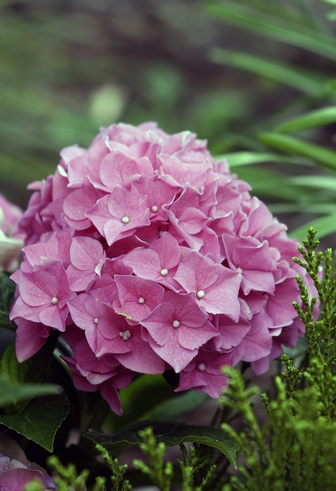 hydrangeas, flower, hydrangea flower