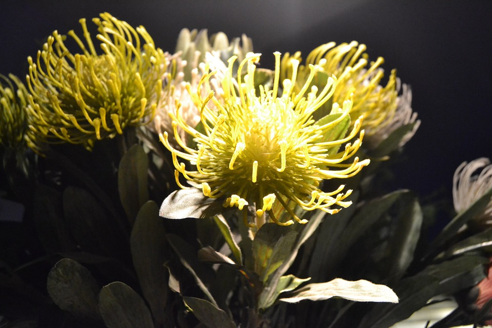 protea, flora, exotic