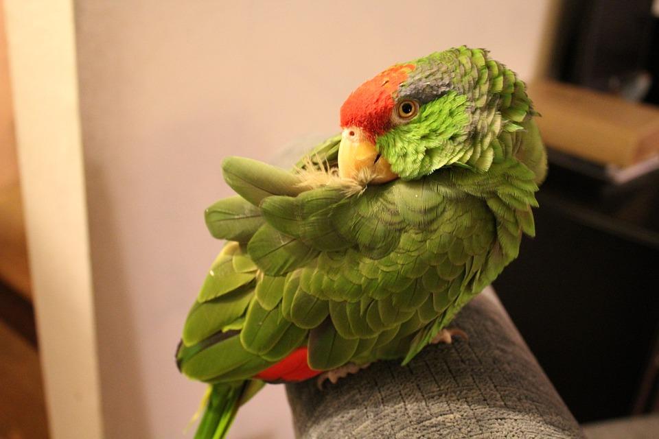 parrot, pets, exotic