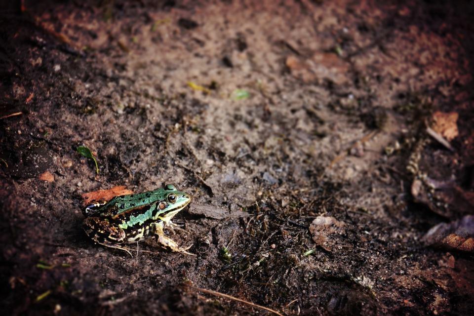 frog, animal, mud