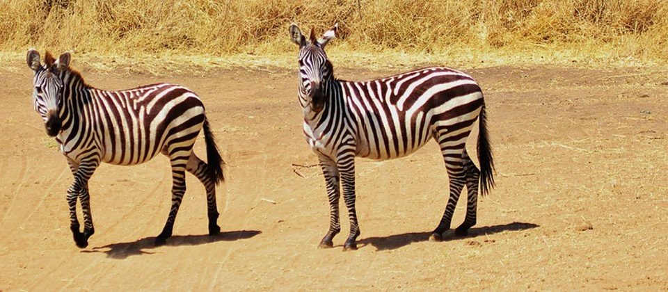 zebra, safari, tanzania